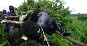 Gorilla Threats