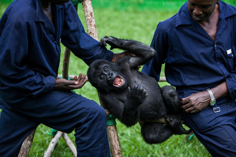 Senkwekwe gorilla orphanage center 6