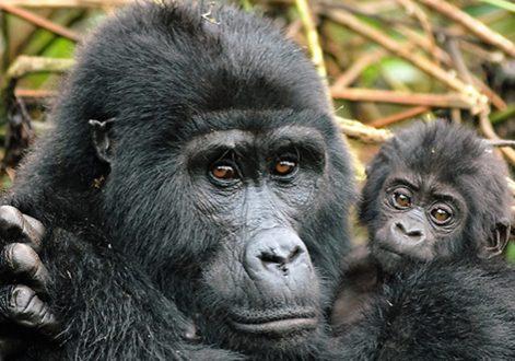 3 day rwanda gorilla trekking