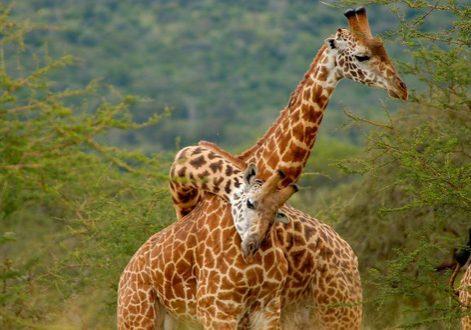 8 Day Rwanda Safari