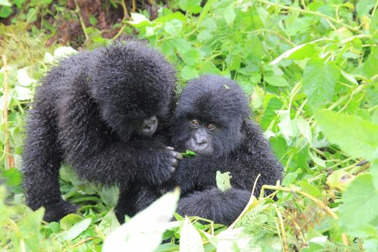 Uganda gorilla permit cost
